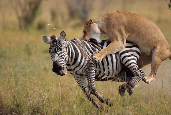 lion takes zebra down.jpg
