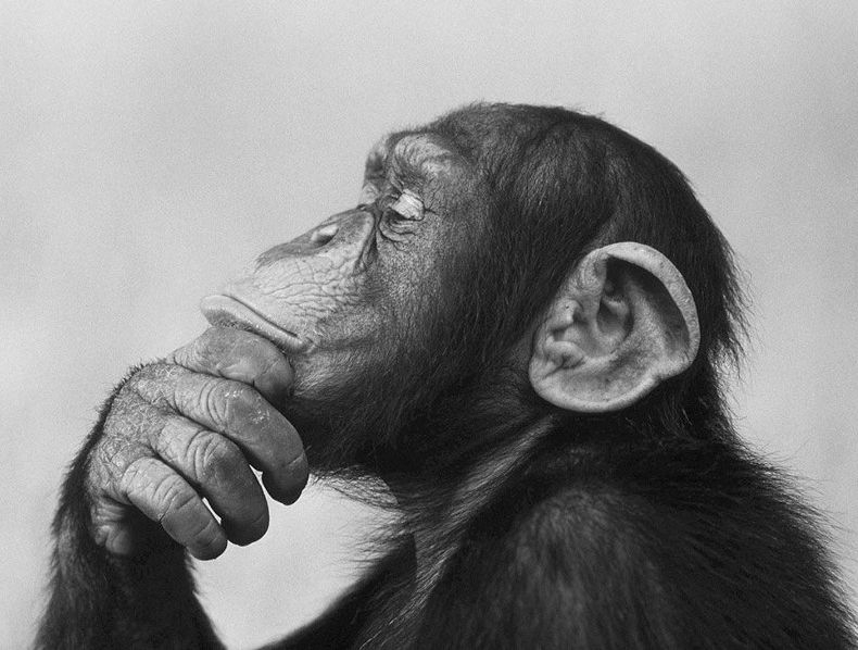 chimp thinking crp.jpeg