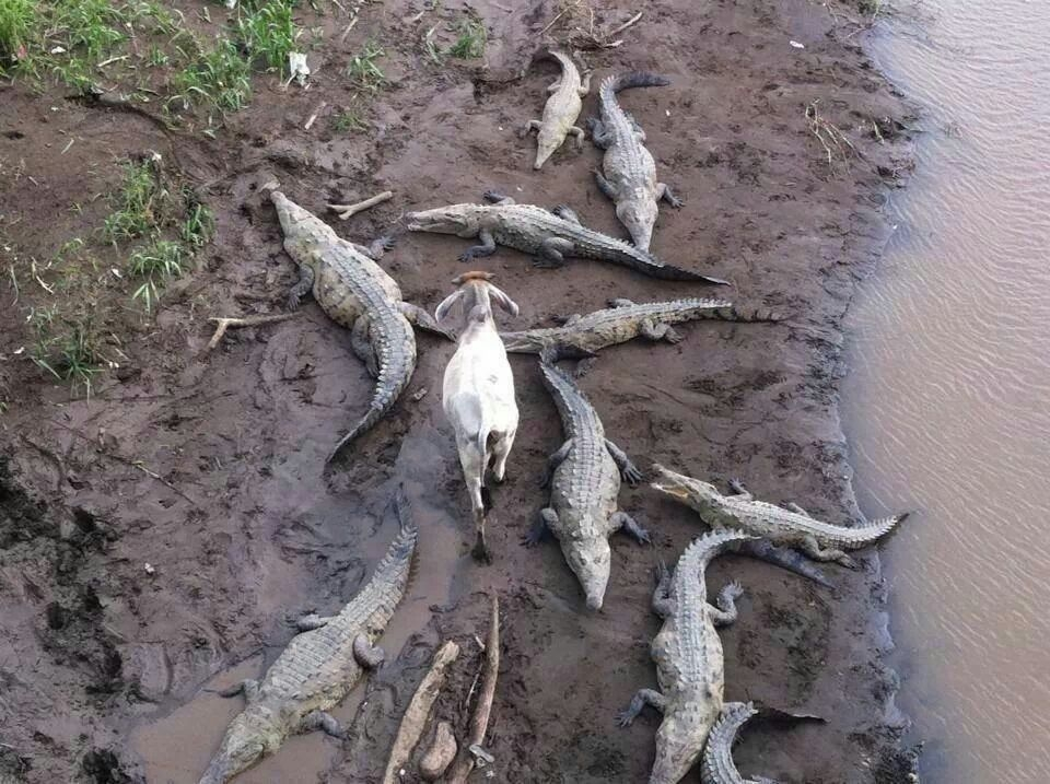 goat and the crocs.jpg